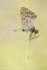 Violetter Feuerfalter - Lycaena alciphron ♀
